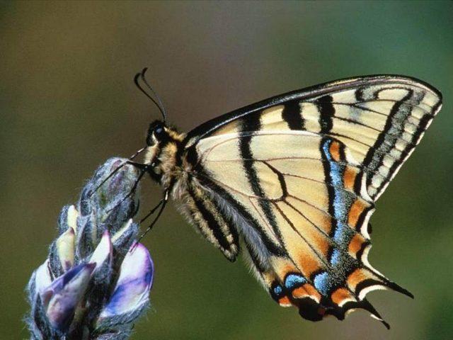 Pillangós Háttérképek