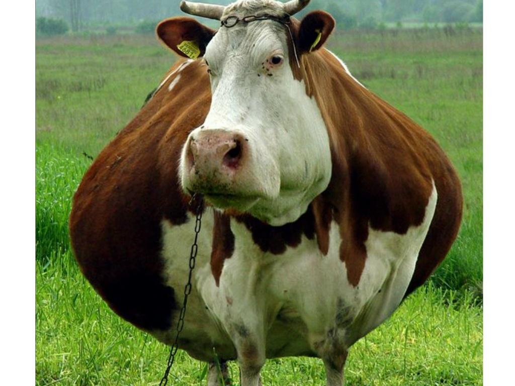 вас всё я жирная корова фото строительства санаториев